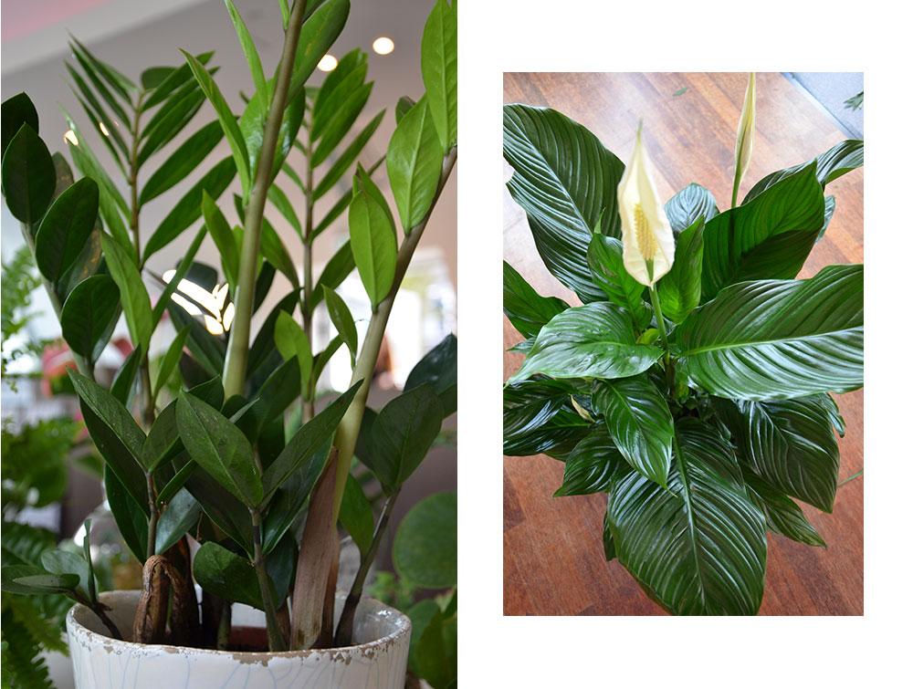 homtastics-pflegeleichte-Zimmerpflanzen